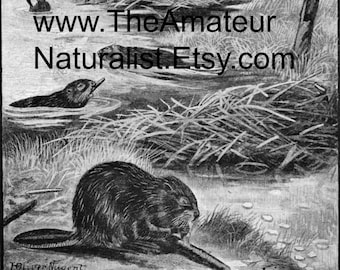 The Beaver Vintage Illustration, Antique Print, Digital Download