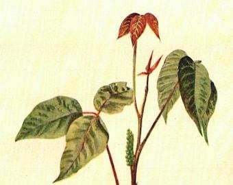 1902 Vintage Illustration, Poison ivy plant, Antique Print, Digital Download