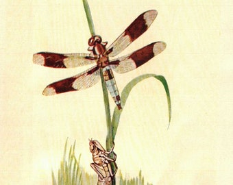 1902 Vintage Illustration, Dragonfly on water plant, Dragonfly life cycle, Antique Print, Digital Download