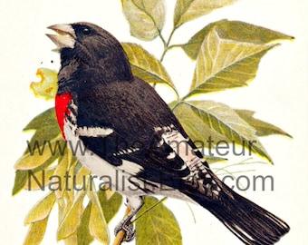 Vintage Bird Illustration, Rose-Breasted Grosbeak, Antique Print, Digital Download