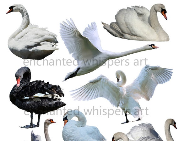 white and black swan overlays for Photoshop