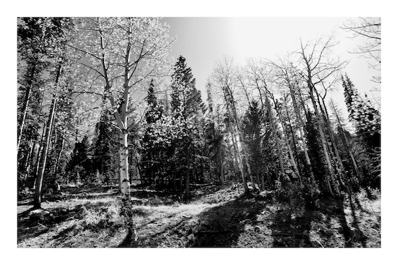 Aspen Grove,  Black and White Fine Art Photography Print   (Hi-Res Digital Download)