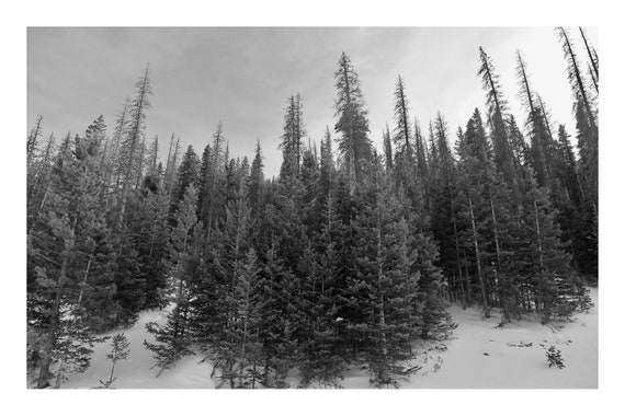 Pine Grove,  Black and White Fine Art Photography Print   (Hi-Res Digital Download)