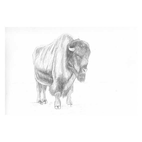 "Buffalo Bill (Original) 9""x12"" Wildlife Pencil Sketch | Graphite | Art | Custom Pencil Art | Wildlife Art | Decor | Minimalist | Gift"