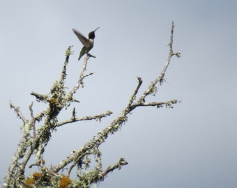 Nature Photography, Bird Photography, Hummingbird, Wings, Flight, fPOE, Traveling Light