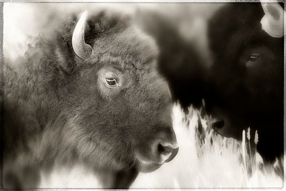 Double Trouble, Fine Art Photography, John Strong Arts, JStrong Photos. Two bison grazing along a Colorado flatland.