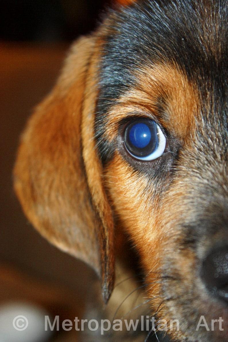 Dog Photograph Beagle Puppy Close Up Mixed Breed 8x10 image 0