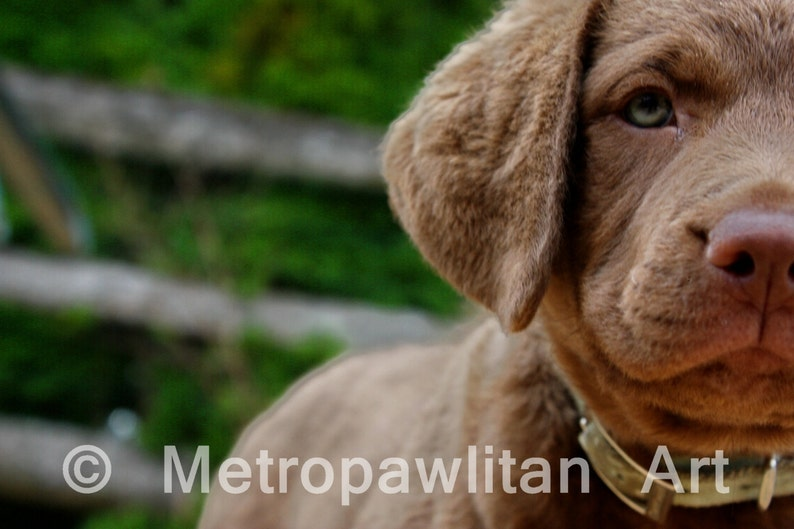 Dog Photograph Chesapeake Bay Retriever Puppy Close Up  8x10 image 0