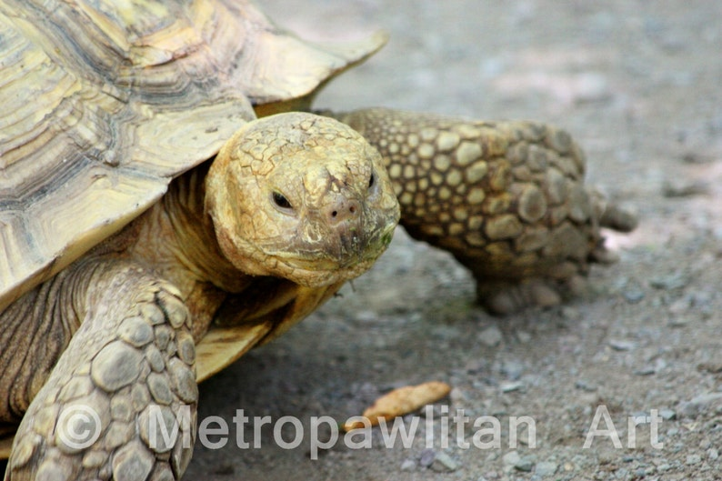 8x10 Photograph of a giant tortoise 2584 image 0