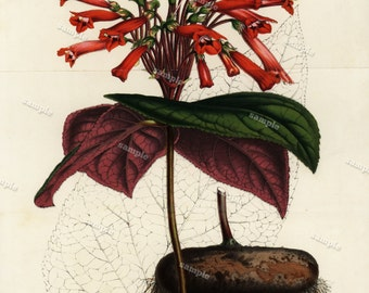 Gesneria leopoldi 1852  Hand colored  Botanical  Hand Colored  Flora Lithograph Original art wall art decorative art  Fold out