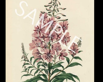 Botanical original antique  1868 1st Ed Chromolithograph H Witte G Severeyns The Tiger Flower