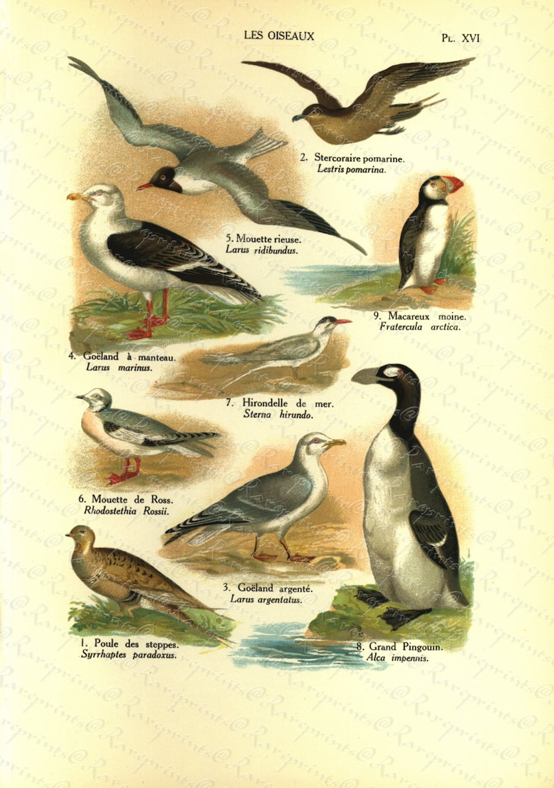 Grand Pingouin From The World Of Natural History Original Antique Natural History Print of Birds Les Osieaux