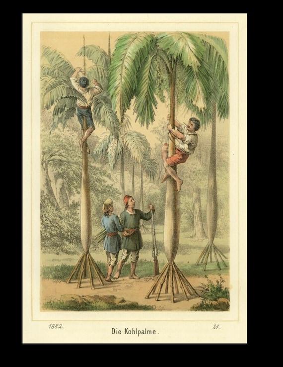 Original Cabbage Palm, Original Color Lithograph circa  1882