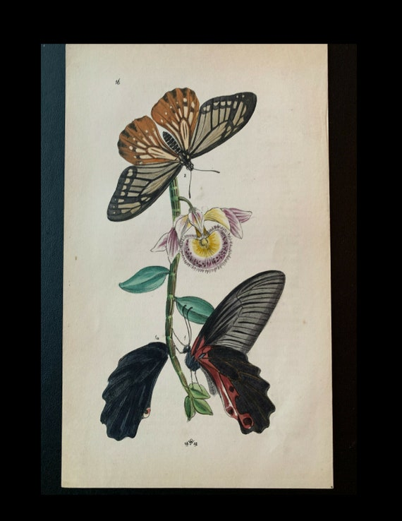 Arcana Entomologica; J.O. Westwood, Papilio charopus, Circa 1842