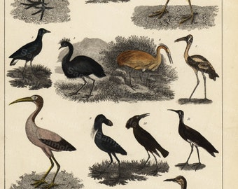 Original Hand colored engraving of birds from Natural history of birds 1850 gorgeous ornithology engraving