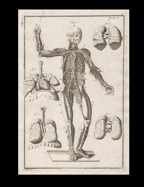 Antique Original Engraving  Human Anatomy Muscles Lung hearts  Skeleton Medicine Copperplate Circa  1770