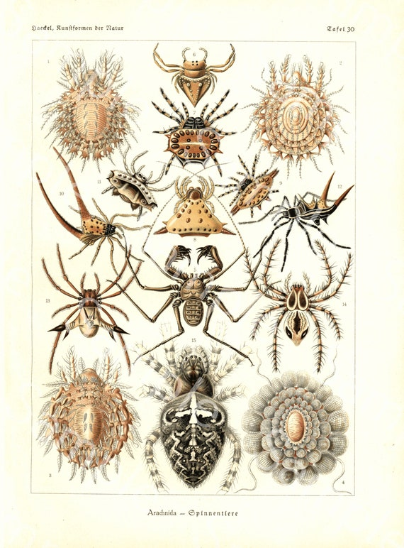 Gorgeous lithograph print from Art Forms of Nature by Ernst Haeckel