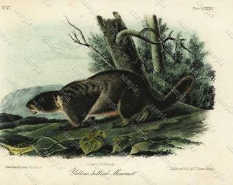 Original Hand colored Engraving Of  Yellow Bellied Marmot From Audubon 1st Edition Octavo