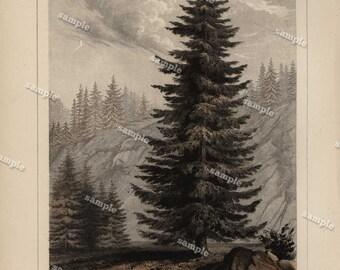 Original Antique Botany Tree 1857 Tinted Print -Abies williamsonii - Original Tree print - Hand colored