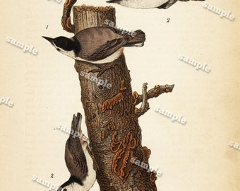 Antique Chromolithograph Published 1890 by E. K. Meyers DATED 1890- Male and female White Breasted Nut Hatch