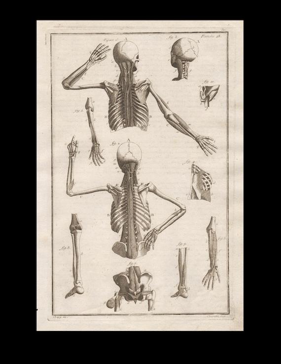 Antique Original Engraving  Human Anatomy muscles Skeleton Medicine Copperplate Circa  1770
