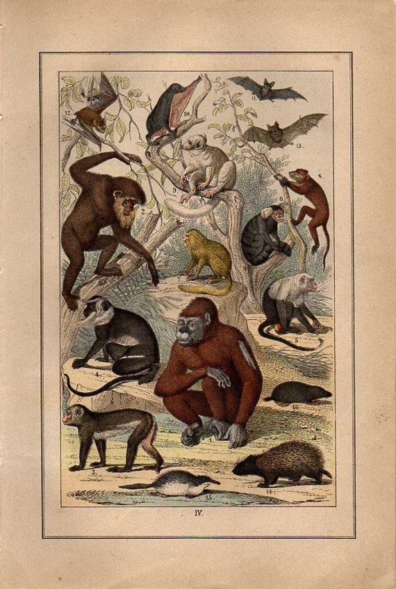 19th Century original hand colored engraving apes monkey nature animal original art rare and gorgeous