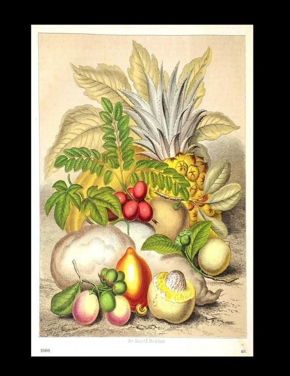 Rare Tropical fruits, pineapples, mangoes, cassawa including Original Color Lithograph  circa 1866