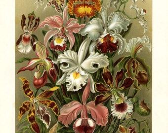 HAECKEL ART FORMS Antique Print 1899-1904 ,Orchideae - Venusblumen, decorative art, wall art, hotel art.  Original lithograph print