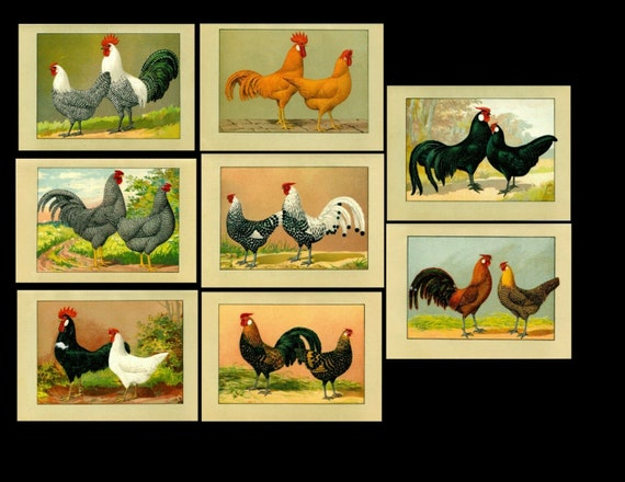Antique original poultry Color Lithograph eight prints of Roosters