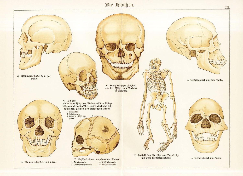 Menschliche Physiologie menschlichen menschliche Schädel | Etsy