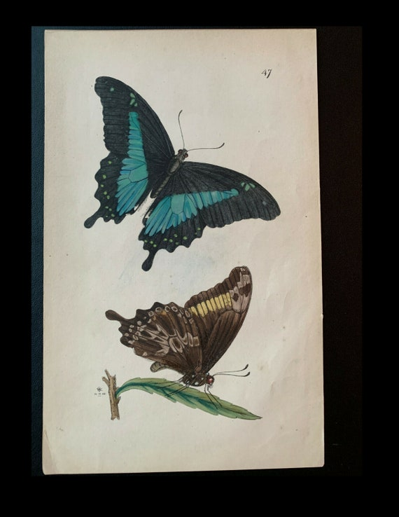 Arcana Entomologica; J.O. Westwood, Papilio charopus, Pl. XLVII, Circa 1842