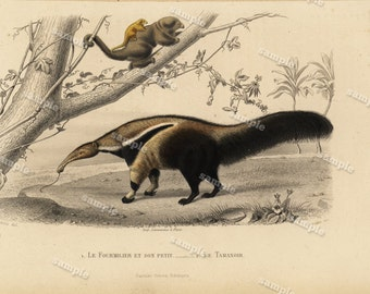 1850 Antique Natural History Animal  Print -Ant Eater  Hand colored  Buffon first edition Naturelle Oiseaux