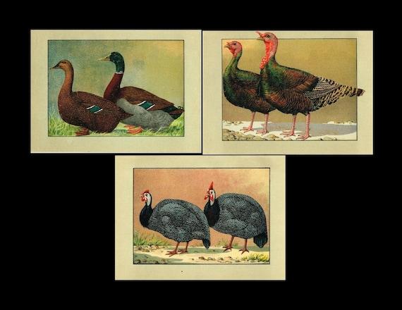 Antique original poultry Color Lithograph three prints of Guinea Fowl, Ducks, Turkey, 3 Plates