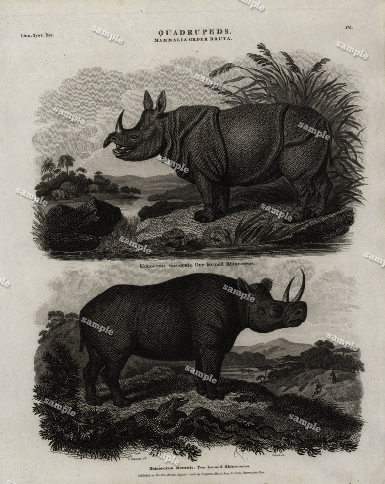 Quadrupeds Authentic  Natural History Engraving 1801 Animals Rhinoceros Large print-black and white-
