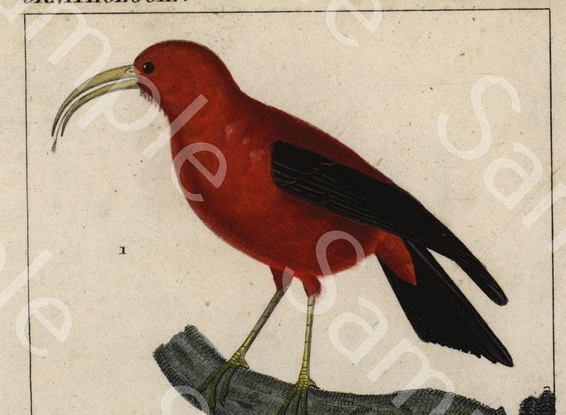 Ornithology bird  Engraving decorative art original print wall art home decor Hand Color  natural history  humming birds