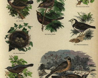 Antique Original Hand Colored  Natural History engraving -  Represinting Various Birds -