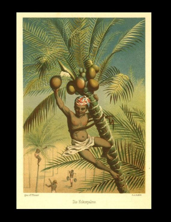 Original Rare Coconut, Original Color Lithograph of approx. 1880