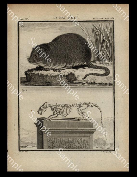 Rare large QUARTO edition Natural history  engravings Rat antonymy circa 1766 De Seve sale