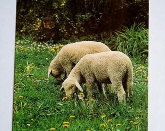 Lambs in the Meadow - Vintage Postcard, West Germany