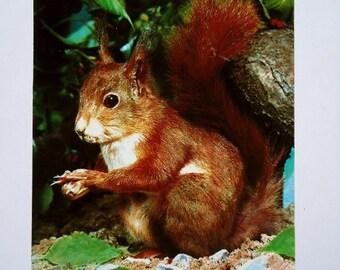Red Squirrel - Vintage Postcard, West Germany