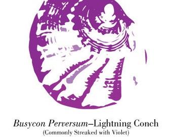 Violet Lightning Conch