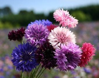 USA Flower Seeds - Bachelors Button - Polka Dot Mix - Summer Blooming - Bouquet Mix - Cut Flower Seeds - Easy Care