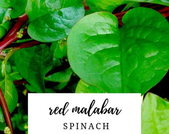 USA Heirloom Organic Spinach Seeds - Malabar Spinach - Red Stem - Non GMO - Open Pollinated - Vegetable Gardening Grow Your Own Food