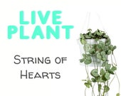 Live String of Hearts Plant - Ceropegia Woodii Starter Houseplant - Housewarming Gift - Office Decor - Feng Shui - Home Decor - House plant