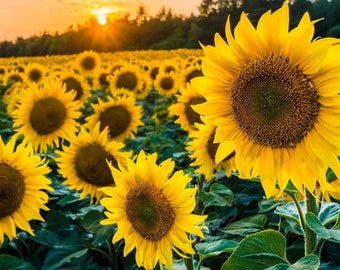 Heirloom Organic Sunflower Seeds - Black Oil -  Non GMO - Garden Pollinator Flowers - Save the Bees - Vegetable Gardening - Bouquet