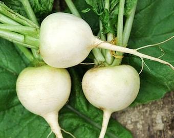 USA Heirloom Radish Seeds - White Hailstone Radish - Non GMO - Open Pollinated - Vegetable Gardening Grow Your Own Food