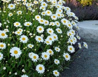 USA Flower Seeds - Shasta Daisy - Crazy Daisy - Summer Blooming - Bouquet Mix - Cut Flower Seeds - Easy Care
