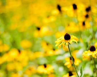 Yellow flower, Black eyed Susan, outdoors, Home decor, Yellow home decor, nature photography, rustic photography, free shipping