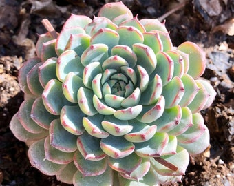 Succulent Plant Echeveria 'Hens n Chicks' (Medium)