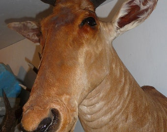 Hartebeest mounted head  sold only in Canada